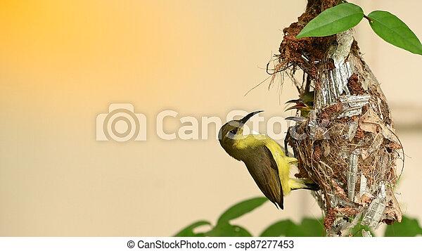 baby, olive-backed, cinnyris, vogel, thailand., sunbird, yellow-bellied, jugularis, nest, sunbird - csp87277453