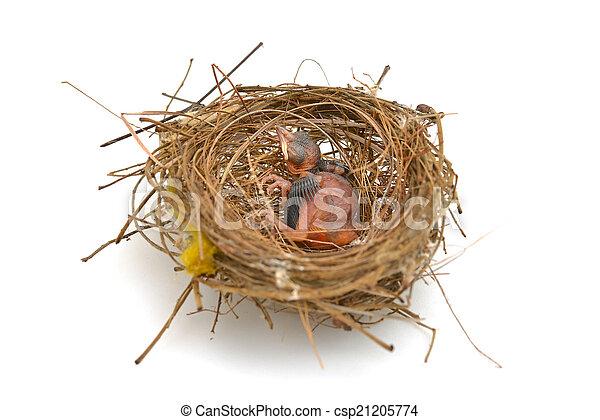 Babyvogel in einem Nest. - csp21205774