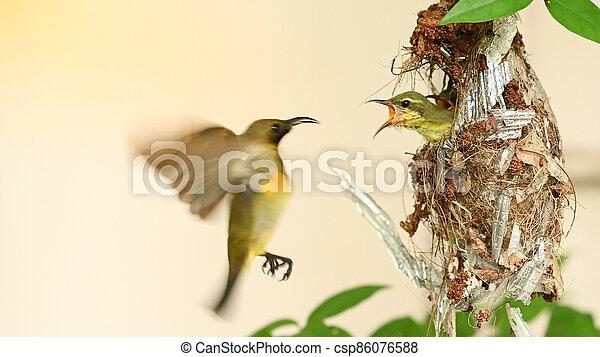 cinnyris, thailand., yellow-bellied, sunbird, olive-backed, nest, sunbird, baby, jugularis, vogel - csp86076588