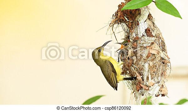 cinnyris, thailand., yellow-bellied, sunbird, olive-backed, nest, sunbird, baby, jugularis, vogel - csp86120092