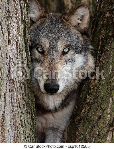 Grauer Wolf kann Lupus sein - csp1812505