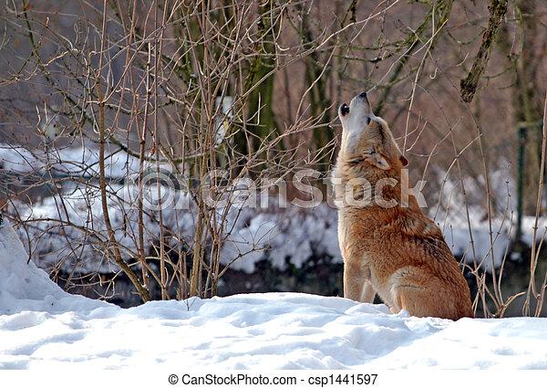 Heulender Wolf. - csp1441597