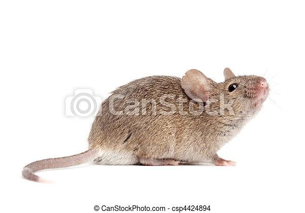 Maus schließt sich isoliert auf weiß - csp4424894