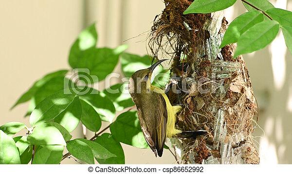 nest, vogel, thailand., olive-backed, baby, sunbird, sunbird, jugularis, yellow-bellied, cinnyris - csp86652992