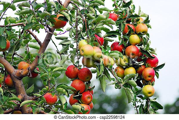 Roter, köstlicher Apfel. - csp22598124