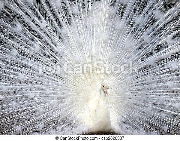 schöne , pfau, seine, schwanz, weißes, zeigen - csp2820337