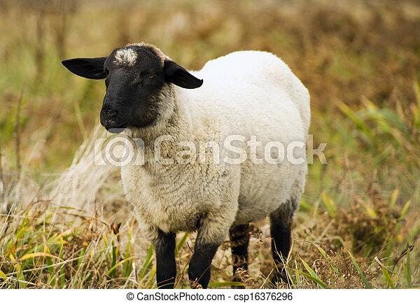 Schafzüchter Viehzuchttier, das in der Heimat Säugetierzucht grast - csp16376296