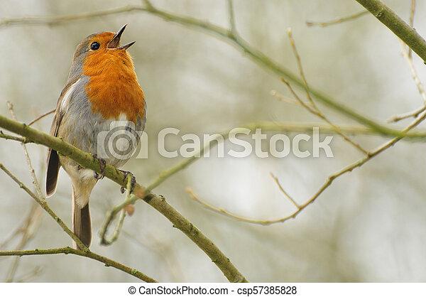 Robin singt im Wald - csp57385828