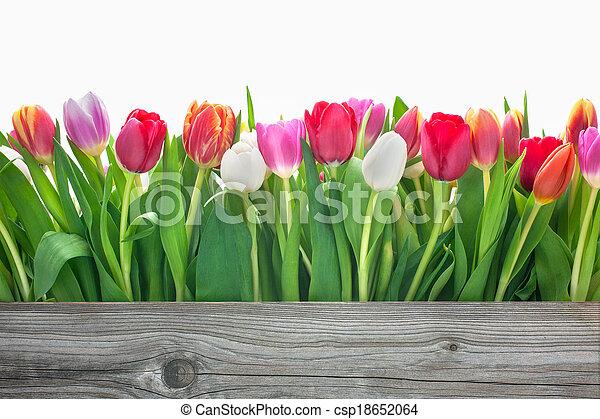 Spring Tulpenblumen. - csp18652064