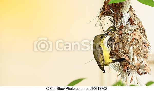 sunbird, thailand., sunbird, olive-backed, vogel, cinnyris, yellow-bellied, baby, nest, jugularis - csp90613703