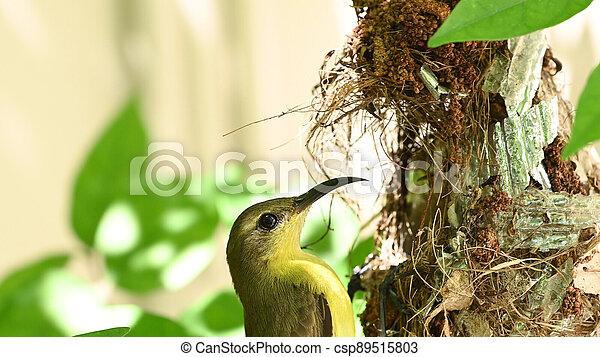 sunbird, yellow-bellied, baby, olive-backed, vogel, jugularis, sunbird, cinnyris, nest, thailand. - csp89515803