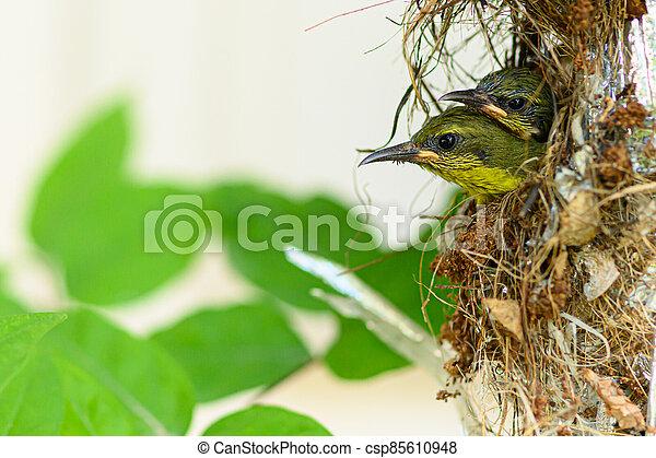 thailand., vogel, baby, nest, olive-backed, sunbird, cinnyris, yellow-bellied, jugularis - csp85610948
