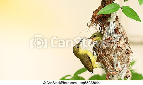 thailand., vogel, baby, olive-backed, jugularis, sunbird, cinnyris, sunbird, yellow-bellied, nest - csp86038044