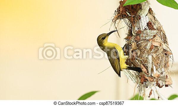 vogel, sunbird, olive-backed, baby, jugularis, yellow-bellied, nest, thailand., sunbird, cinnyris - csp87519367